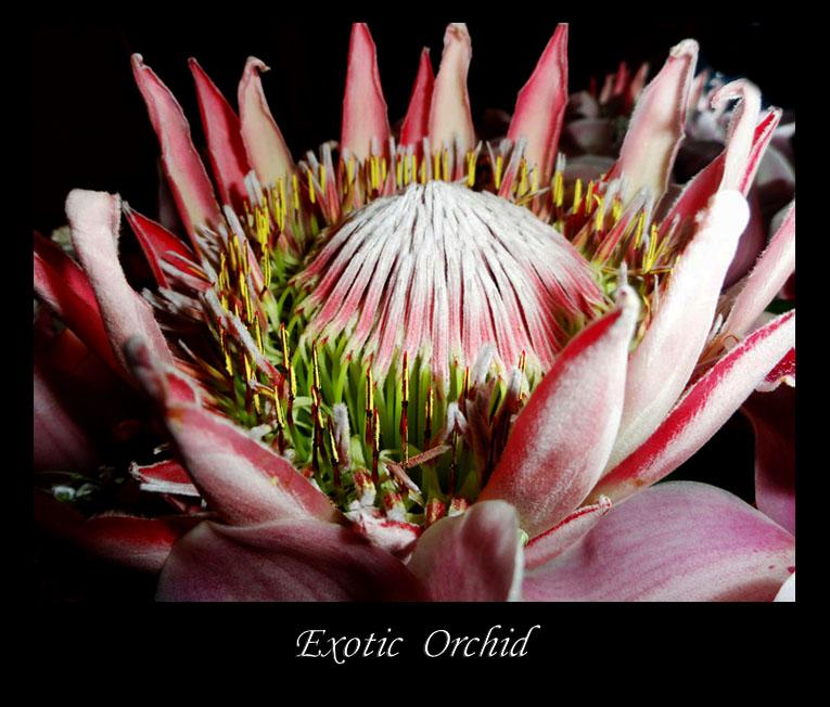 Exotic orhids