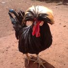 Exotic Rooster (Galo exotico)