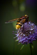 exotische Biene