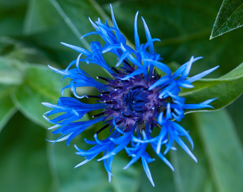 Exotische blaue Blüte