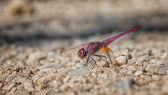 Exotische Libelle