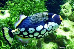 exotischer blauer-weißer Fisch im Aquarium Düsseldorf