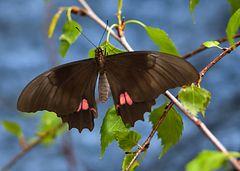 Exotischer Schmetterling!