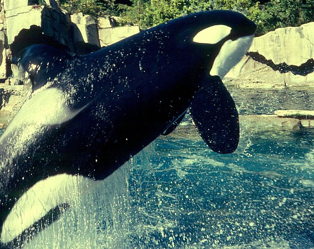 Explosiv - Orca im Sprung