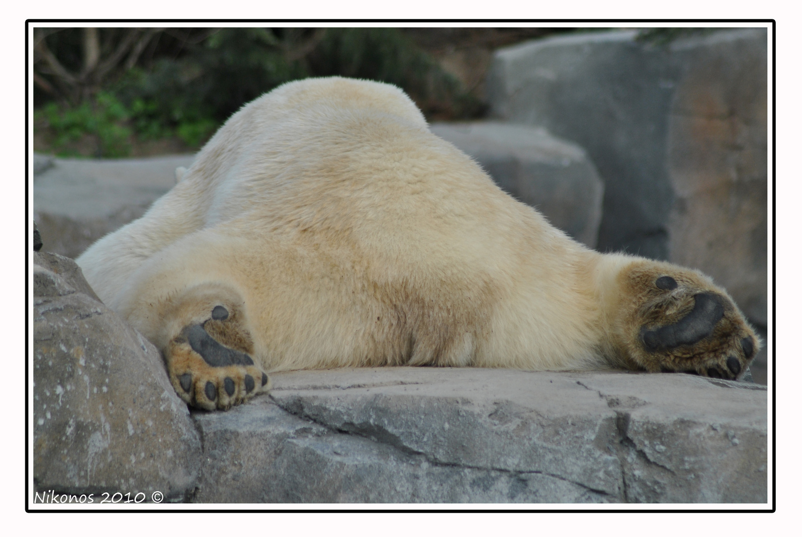 extrem cooler Eisbär