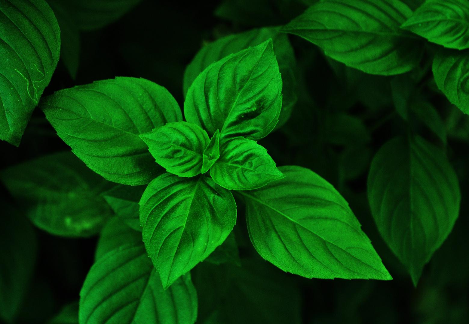 extrem green basil