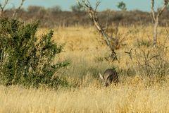 Extrem seltenes Foto von einem Aardvark (Erdferkel)