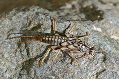 Exuvie einer Steinfliege (Familie Perlidae).* - Larve d'un insecte qui vit dans les rivières.