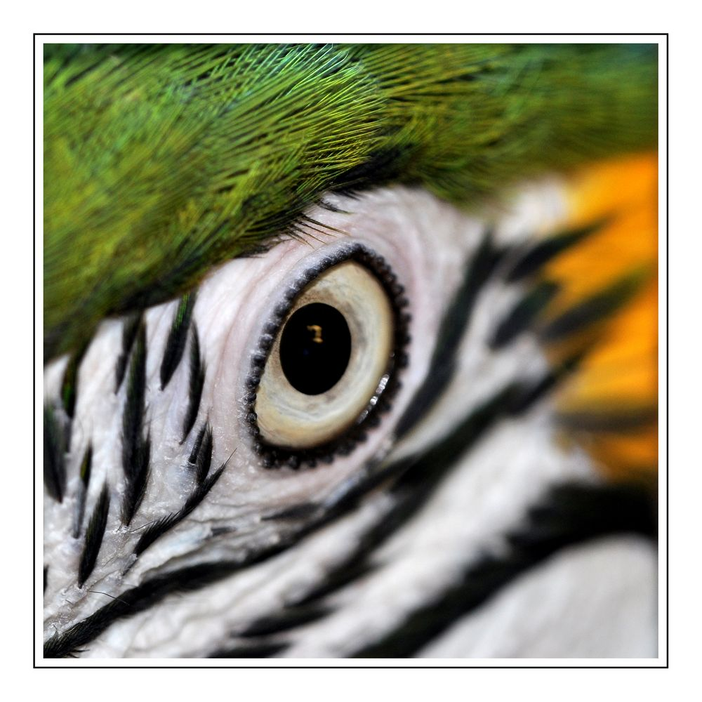 Eye of the parrot