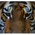 Eye(s) Of the Tiger