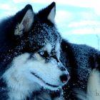 FA.... die schönste Alaska Mallamut Hündin der Welt