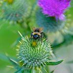 Fachiro Bee