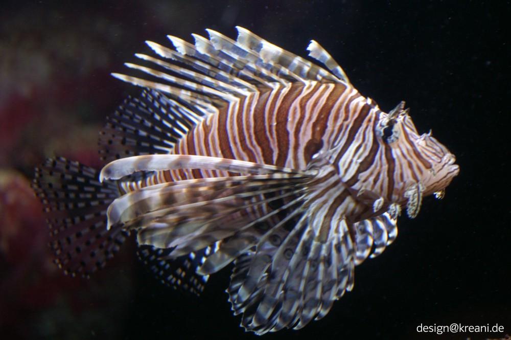 fächer fisch feuerfisch foto amp bild tiere wildlife