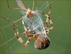 Fäden aus den Spinnwarzen der Gartenkreuzspinne