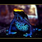 Färberfrosch I