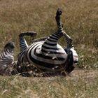 fahrradfahrendes Zebra beim Aufwärmtraining  in Masai Mara