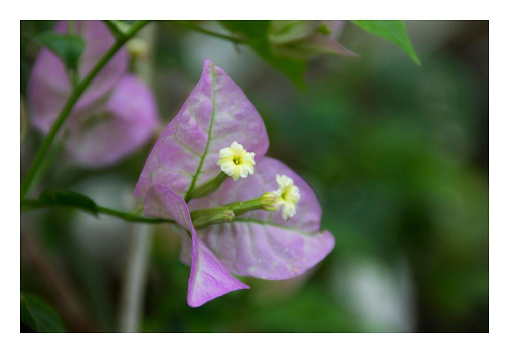 Fairy purple -1