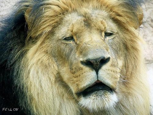 Faithful Lion