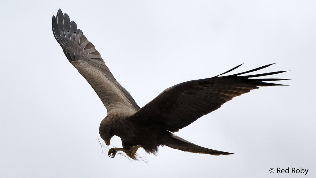Falco che prepara il nido (Tanzania)