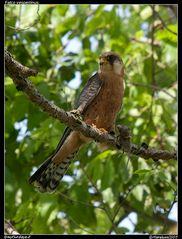 Falco cuculo con preda
