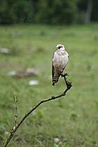 falco cuculo femmina