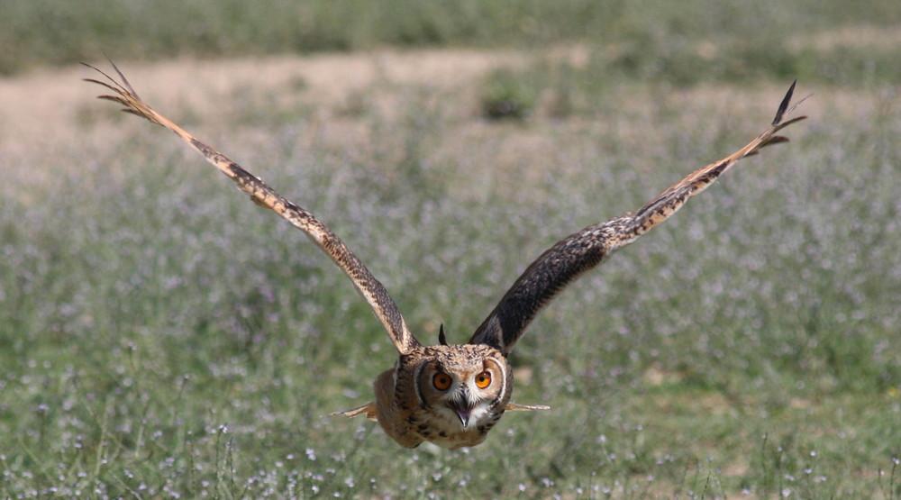 Falco della malesia