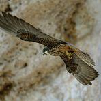 Falco eleonorae-Falco della regina-