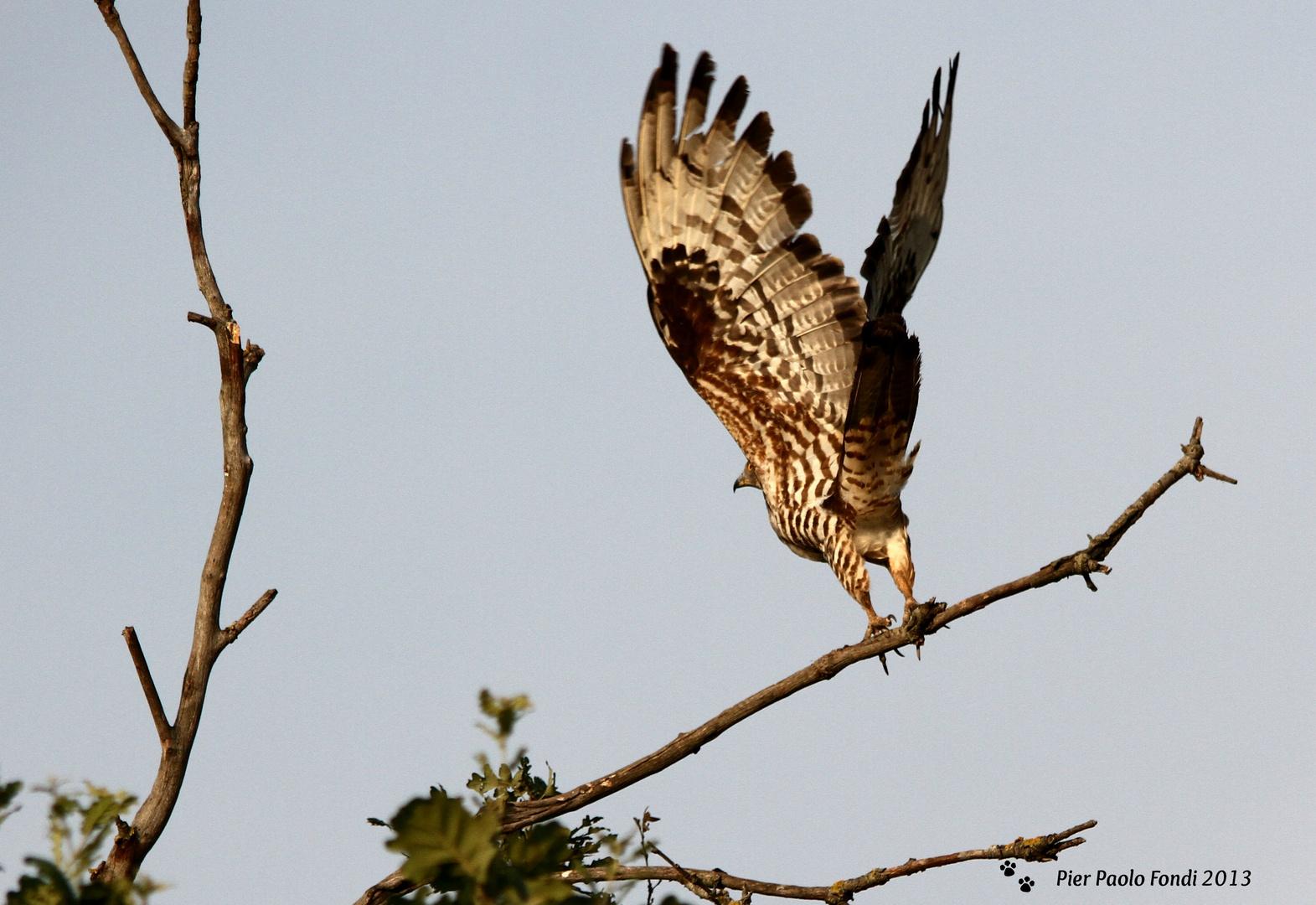 Falco Pecchiaiolo 6