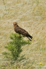 Falco pecchiaiolo femmina
