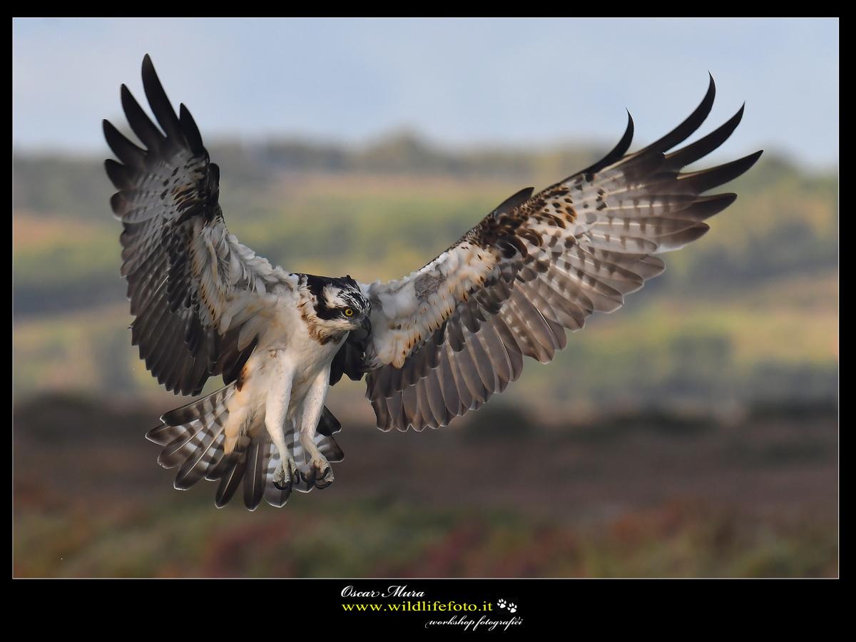 Falco Pescatore Osprey
