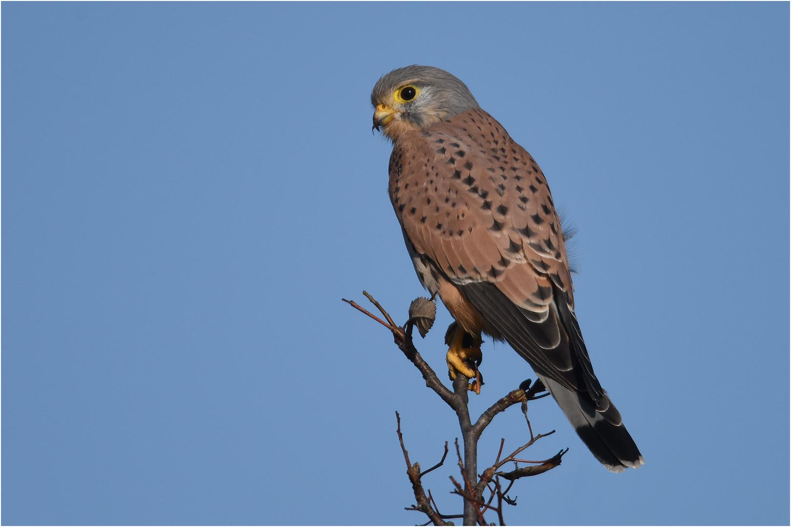 Falco Foto