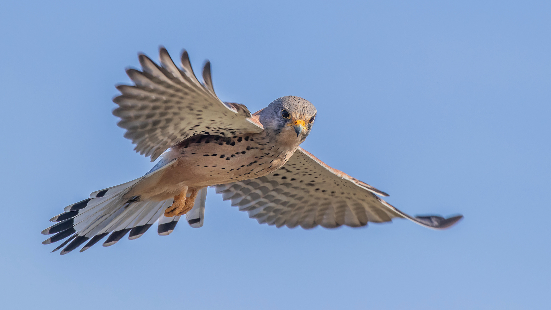 Falco tinnunculus - Turmfalke im Flug