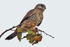 Falco tinnunculus - Turmfalke und wegen der  Andeutung einer Graufärbung...