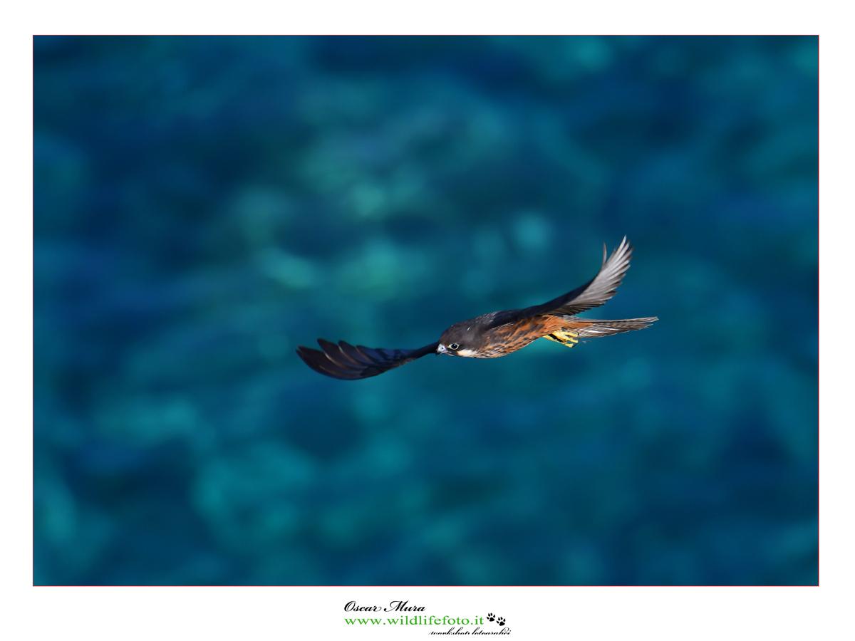 #falcoeleonorae #oscarmura #wildlifefoto.it