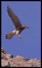 Falke auf der Lobdeburg