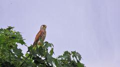Falke auf der Pirsch