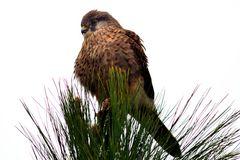 Falke auf La Palma