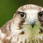 Falke aus Afrika