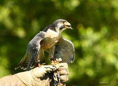 Falke bei der Flugschau