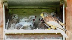 Falke beim Füttern der Nachzucht