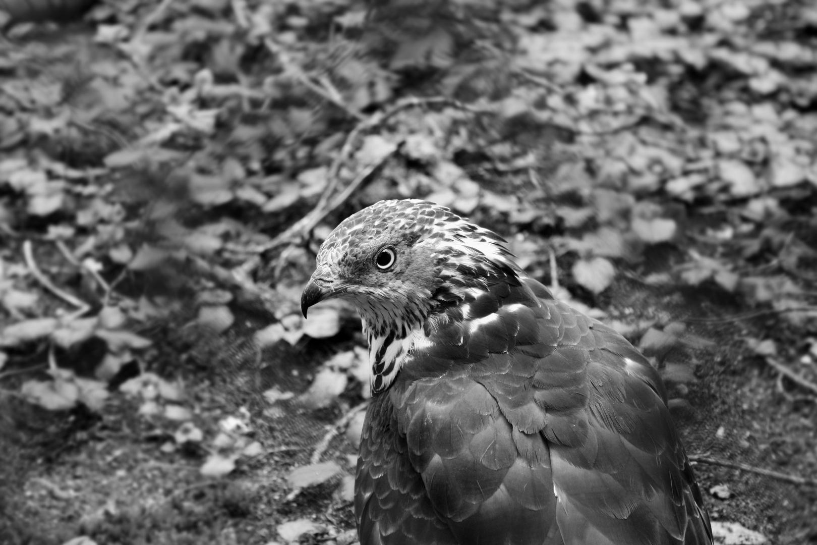 Falke - Burgers Zoo, Arnhem