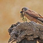 Falke (Falco tinnunculus)