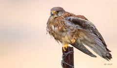 Falke ( Falco tinnunculus ) (weibl.)