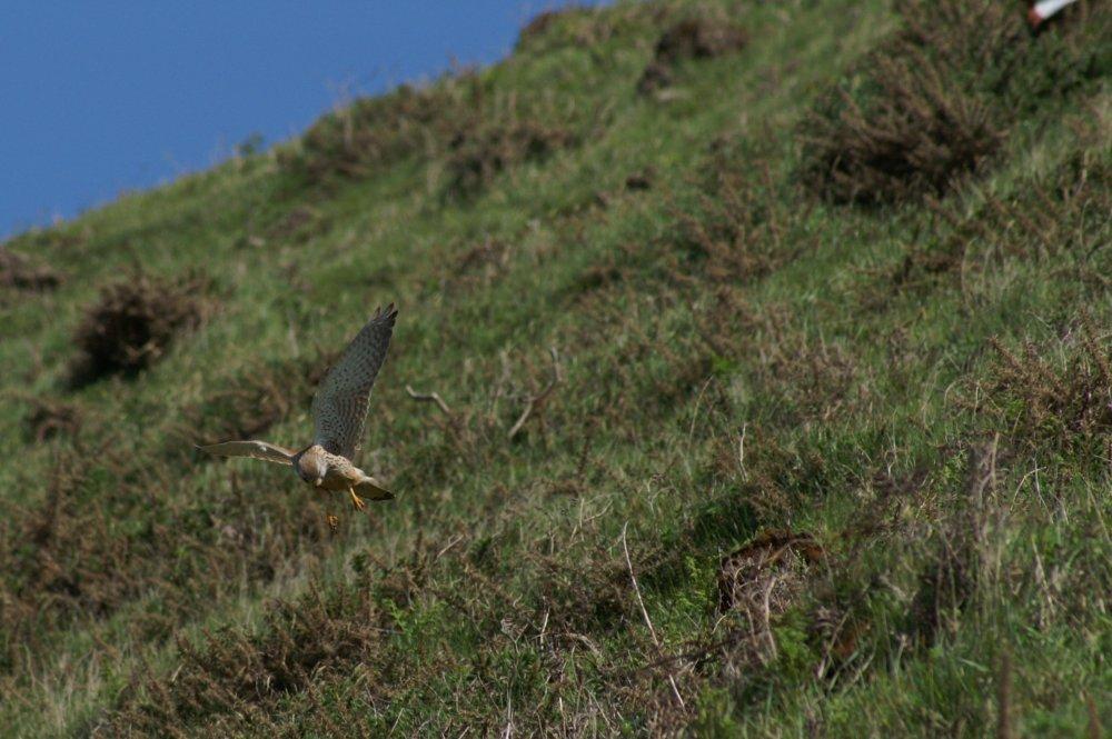 Falke im Angriff