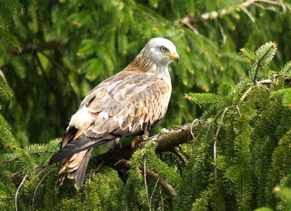Falke im Baum