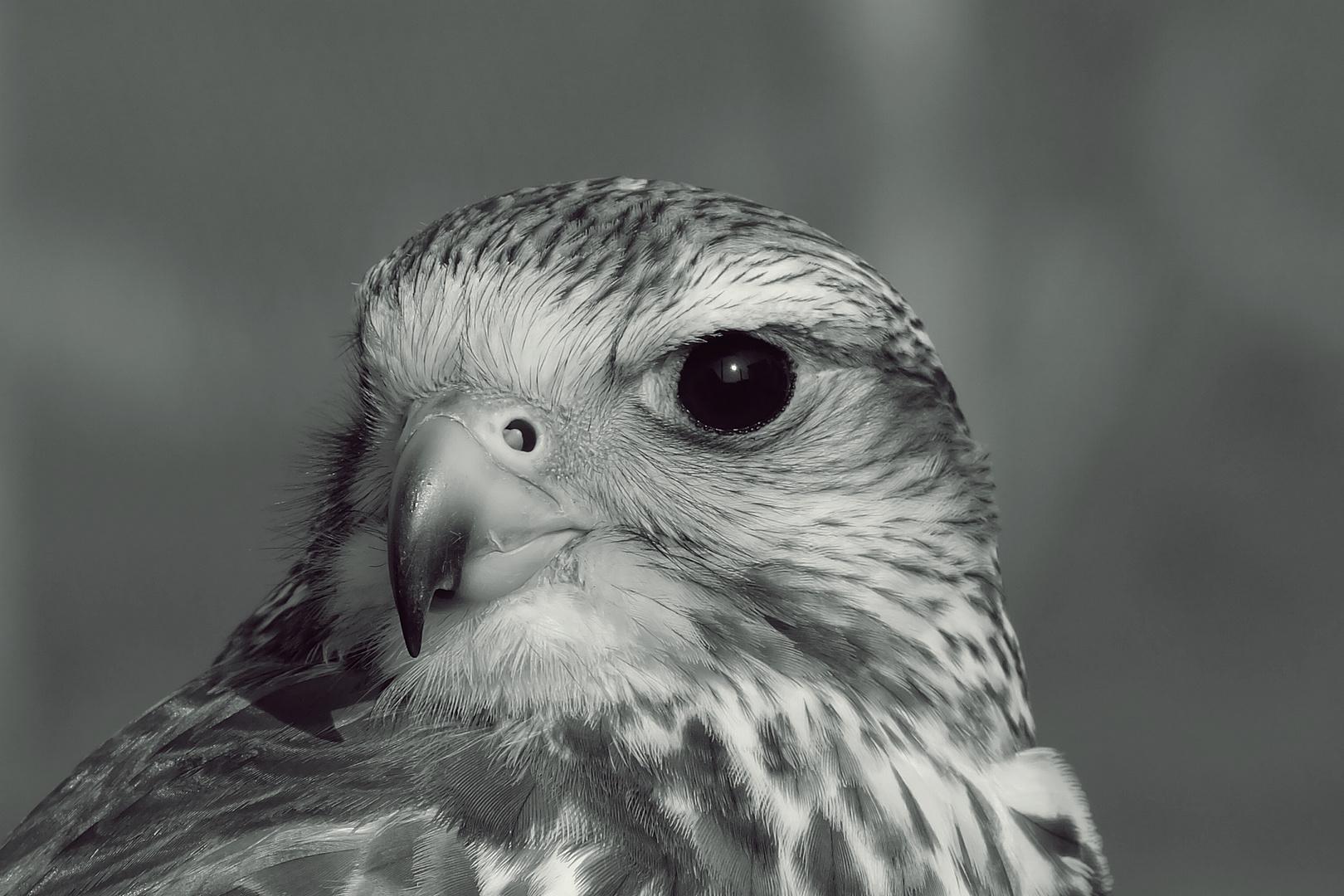 Falke im Blick