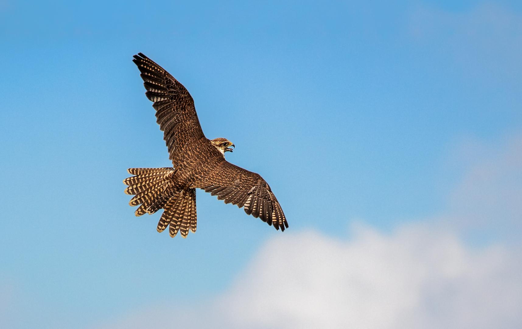 Falke im Flug 001