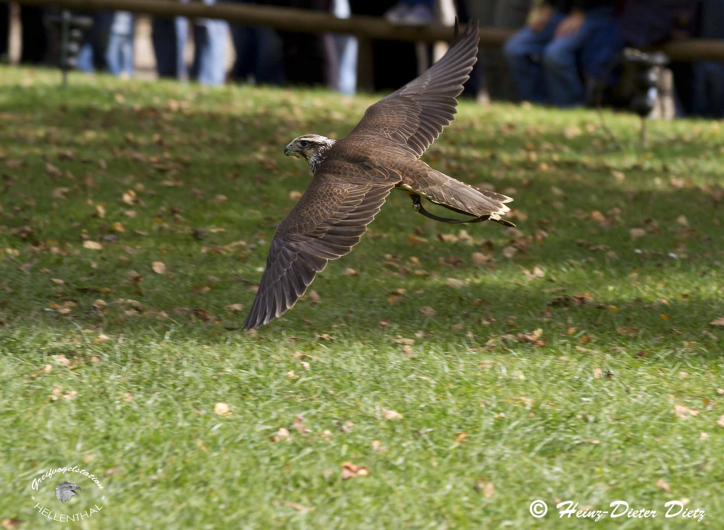 Falke im Tiefflug