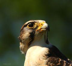 Falke  im Wild,-und Freizeitpark Allensbach