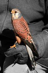 Falke in Colour-Key
